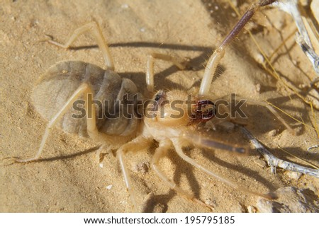 Grant�s camel spider, or sun spider, or wind scorpion, or solifuge (Galeodes granti) in Negev desert, Israel - stock photo