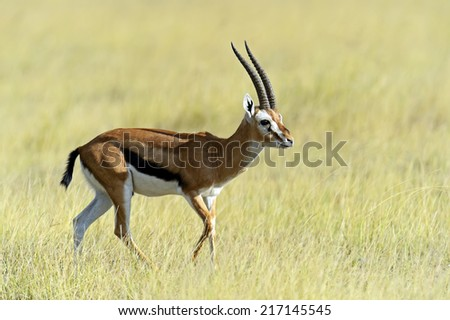 Grant's gazelle in the African savannah in the wild - stock photo