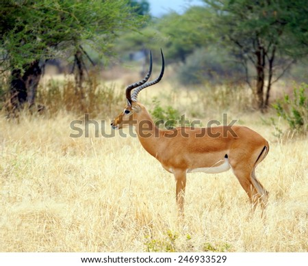 Grant's gazelle with typical long, slender horns standing at the Serengeti National Park   - stock photo