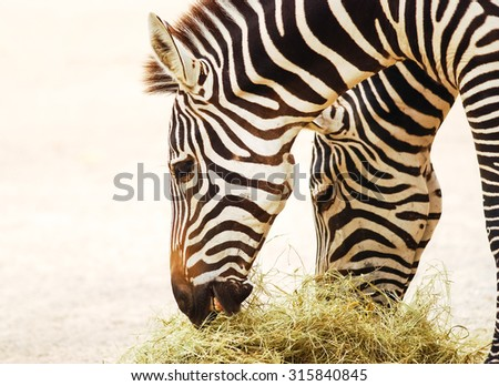 Grant's Zebra feeding on hay with near white background from strong back light. - stock photo