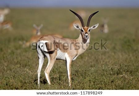 Grants gazelle - stock photo