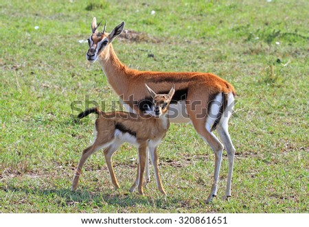 Grants Gazelle and her calf standing on the plains in the Masai Mara - Kenya - stock photo