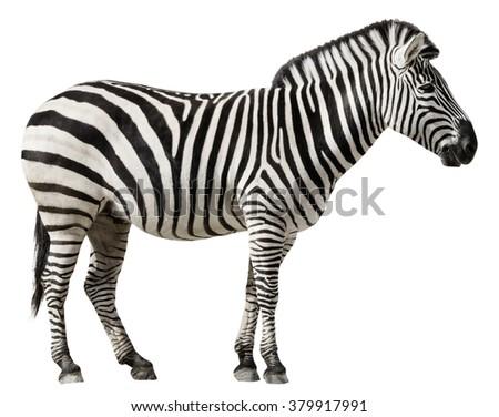 Grants Zebra (Equus burchellii boehmi) isolated on a white background - stock photo