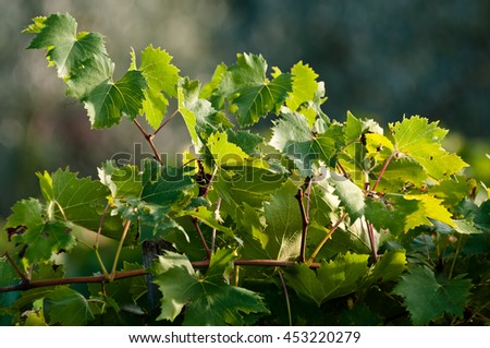 Grape branch in sunny, autumn day, Italy