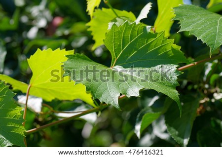 Grape branch with green leaves. Summer, garden. Shallow focus. Blurred background