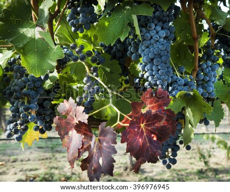 Grape bush with bunches of grapes
