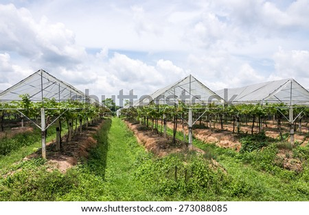 Grape farm in the countryside of Thailand. - stock photo