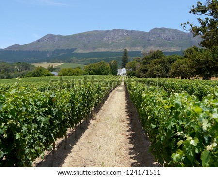 grape farm near cape town, south africa - stock photo