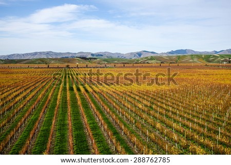 Grape fields in Autumn