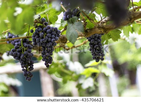 grape fresh In the vineyards bunch of red grapes on the vine with green leaves blurred background for design and background. - stock photo