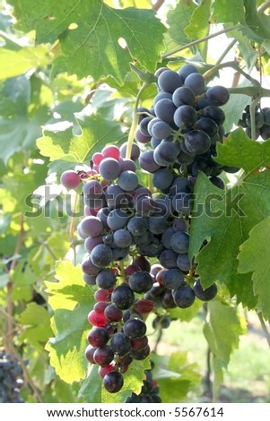 Grape fruit in a vineyard - stock photo