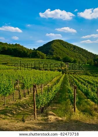 grape, grapevine plants in a beautiful vineyard - stock photo