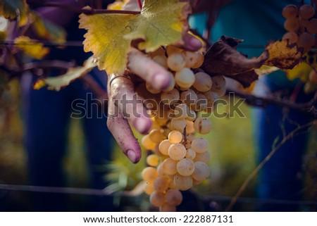 Grape harvesting in a vineyard in Kakheti region, Georgia. Toned picture - stock photo
