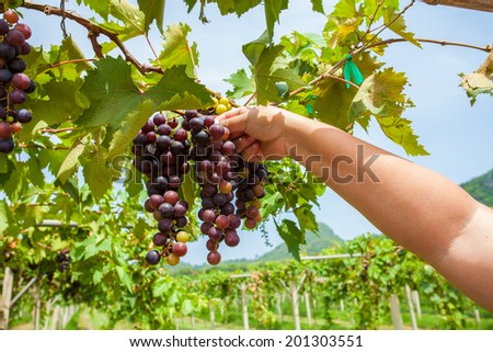 Grape harvesting in vineyard with farmer hand - stock photo