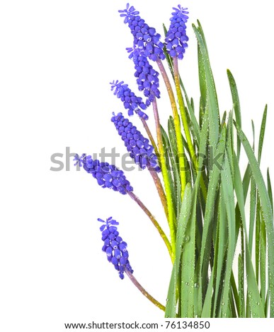 grape hyacinth flowers with dew  drops - stock photo