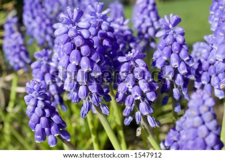 Grape Hyacinth in early Spring - stock photo