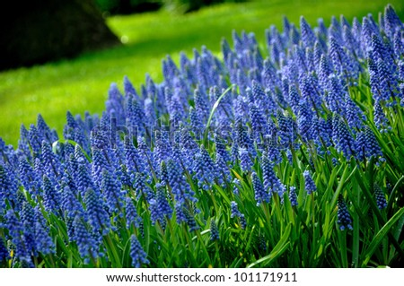 Grape Hyacinth with green grass in Keukenhof park in Holland - stock photo