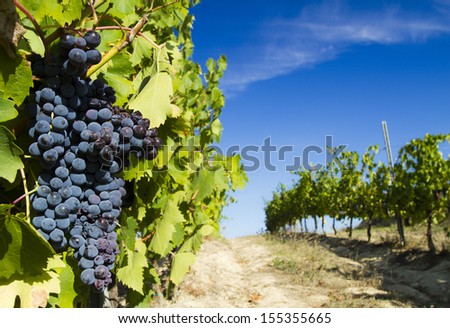 grape in a tuscany vineyard - stock photo