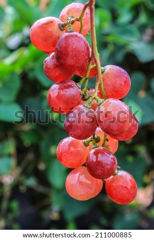 grape in the garden - stock photo