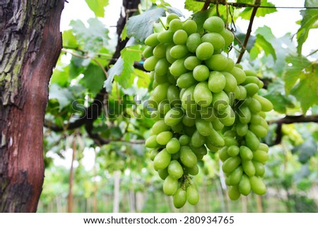 Grape in Vineyard - stock photo