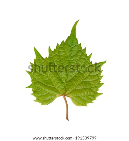 grape leaf - stock photo