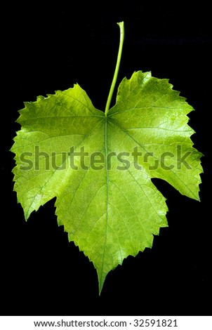 grape leaf - stock photo
