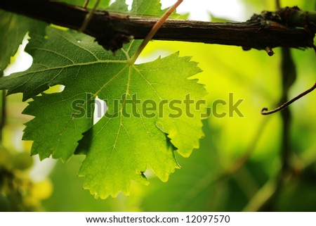 Grape leaf on grapevine, close-up. Shallow DOF. - stock photo