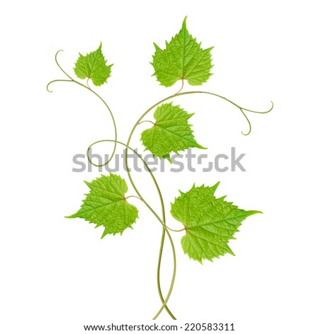 grape leaves - stock photo