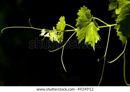 Grape leaves. - stock photo