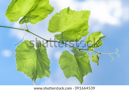 grape leaves against the blue sky in spring