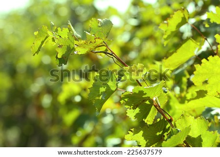 Grape leaves and sun beams