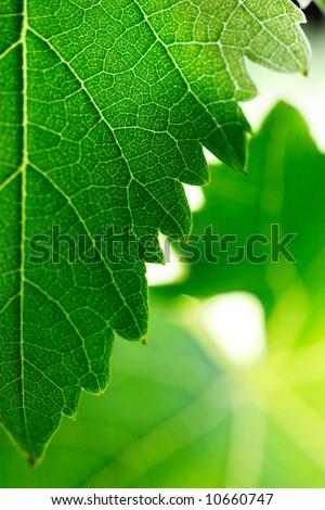 Grape leaves background. Shallow DOF. - stock photo