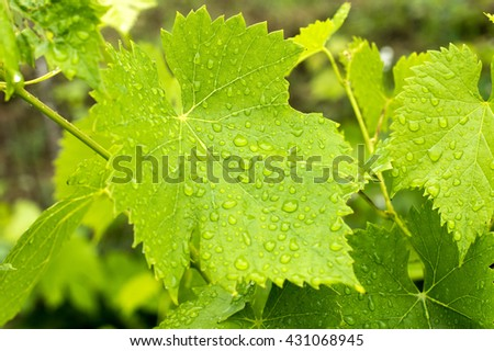Grape leaves, close up view. Summertime, sunlight