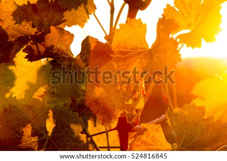 Grape leaves in autumn after harvest at golden sunset