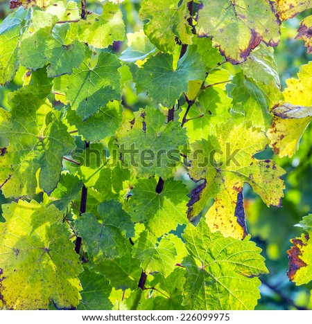 Grape leaves in beautiful light, close-up