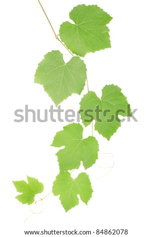 Grape leaves isolated on white, clipping path included - stock photo