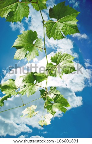 Grape leaves of a branch on blue sky with cloud. - stock photo