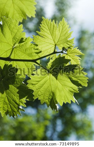 Grape leaves on a branch against the blue sky.