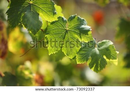 Grape leaves on grapevine. Shallow DOF. - stock photo