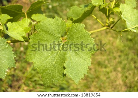Grape leaves over a grass field background