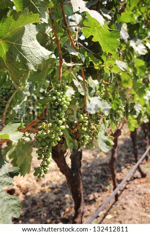 Grape of cabernet sauvignon in a vineyard in Chili