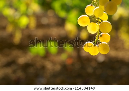 Grape on wineyard before the harvest - stock photo