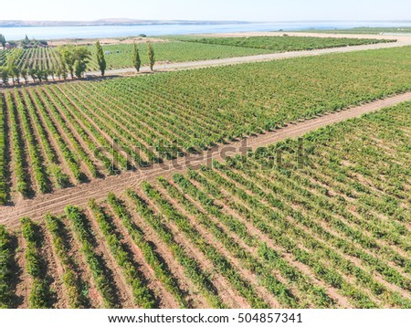 Grape orchards bird's-eye view. Vine rows. Top view on the garden on a background of the estuary.