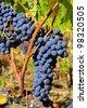 grape red - stock photo