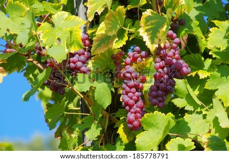 grape red  - stock photo