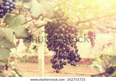 grape , retro filter effect style pictures - stock photo
