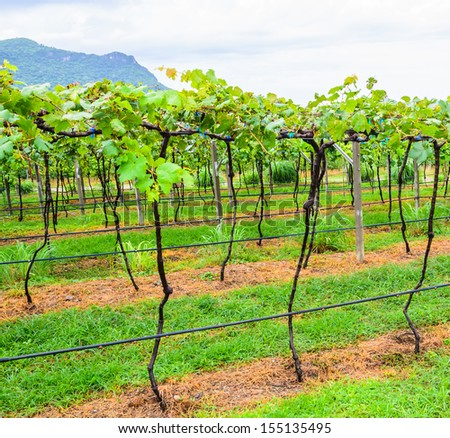 Grape valley from thailand - stock photo