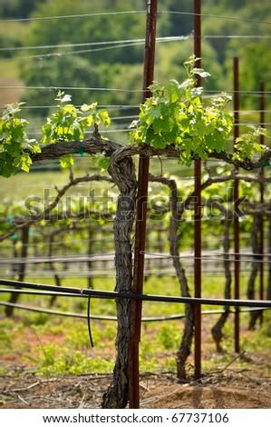 Grape Vine in Spring - stock photo