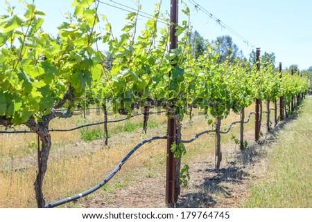 Grape Vine in Spring Napa - stock photo