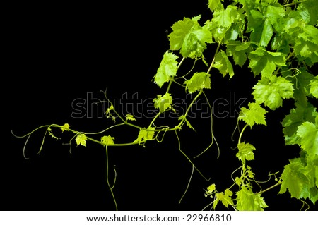 Grape vine isolated on black. 1/2 of copy space - stock photo
